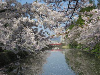 上杉神社の桜 田島たたみ